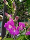 Purpleorchid Стоковые Фотографии RF