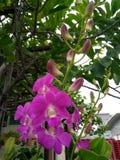 Purpleorchid arkivfoto