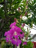 Purpleorchid Стоковое Фото