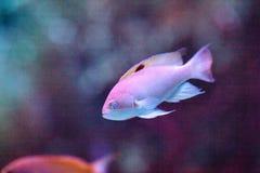 Purplequeen anthias fish Pseudanthias pascalus royalty free stock photography