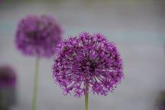 Purpler blomma i Alaska arkivbild