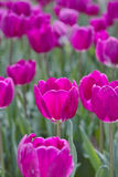 Purpler tulips Royalty Free Stock Photo