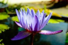 Purples flower of FL w Stock Photo