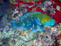 Purplestreak Parrotfish Stock Image