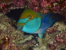 Purplestreak Parrotfish Stock Photography