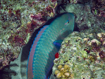 Purplestreak Parrotfish Stock Photo