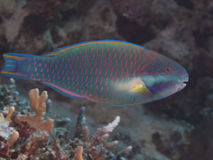Purplestreak parrotfish Royalty Free Stock Photos