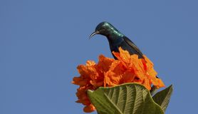 Purple sunbird perched on flower for nectar stock image
