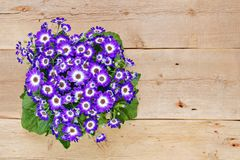 Violet and white flowers over wooden background Royalty Free Stock Photos