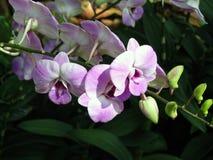 Purplish белые орхидеи Стоковое фото RF