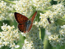 Purplish Copper Butterfly with Ant. A Purplish Copper Butterfly on Cow Parsnip flowers with an ant Royalty Free Stock Photos