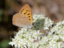 Purplish Copper Butterfly - Lycaena helloides. A Purplish Copper Butterfly (Lycaena helloides) on Cow Parsnip flowers Royalty Free Stock Photos