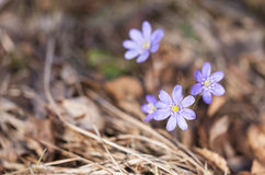 Purplish hepatica closeup Royalty Free Stock Photos