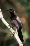 Purplish jay on diagonal branch facing camera Royalty Free Stock Image