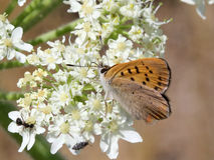 Purplish Miedziany motyl - Lycaena helloides Obraz Royalty Free