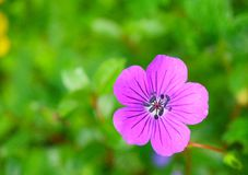 Purplish Pink Geranium Pratense (Meadow Geranium) Flower, Valley of Flowers, Uttarakhand, India. There are hundreds of varieties of flowers in Valley of Flowers Stock Image