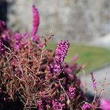 Purplish Pink Lavender Flowers Photographed in Nyon stock photo
