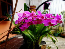 Purplish Pink Orchids. With numerous flower heads on it stems Royalty Free Stock Photo