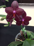 A purplish red butterfly orchid. A purplish red butterfly  orchid background Stock Images