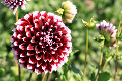 Purplish Red Dahlia Stock Images
