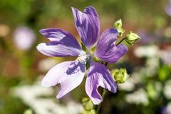 Purplish red Tree mallow in early summer Stock Photography