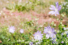 Purplish red Tree mallow in early summer Royalty Free Stock Photo