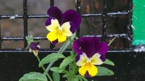 Purplr和黄色花在树木园诺丁汉英国 免版税库存图片