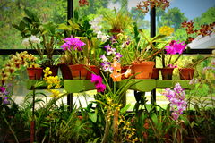 Purpole orkidé i solljus på de kungliga botaniska trädgårdarna, Peradeniya, Sri Lanka Royaltyfri Fotografi