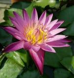 Purpose Lotus Zdjęcie Stock