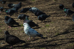 Purposeful pigeon. Cheerfully goes through the park Stock Photo