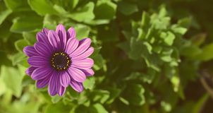 Purpple daisy Stock Image