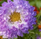 Purpur aster royaltyfria foton