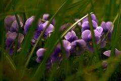 Purpur blühen lizenzfreie stockfotografie