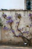 Purpur blüht Glyzinien Stockfotografie