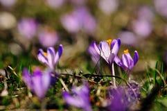 Purpur blüht Krokusse auf Wiese in der Natur, schöne Frühlingsblumen Stockfoto