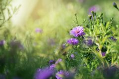 Purpur blüht Nahaufnahme im Sonnenlicht stockbilder