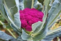 Purpur blomkål Royaltyfri Fotografi