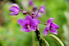 Purpur blomma Royaltyfri Foto