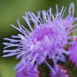 Purpur blomma Arkivfoto