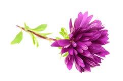 Purpur blomma för Chrysanthemum (Mum) royaltyfria foton