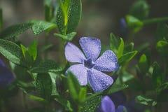 Purpur blomma med vattendroppar Royaltyfri Fotografi