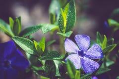 Purpur blomma med vattendroppar Royaltyfria Foton
