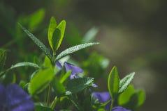 Purpur blomma med vattendroppar Fotografering för Bildbyråer