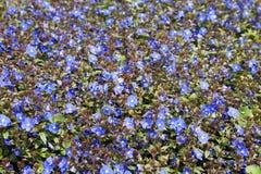 Purpur blommabakgrund Royaltyfria Foton