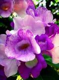 Purpur blomning Royaltyfri Bild