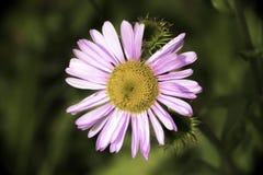 Purpur blomning Royaltyfri Fotografi