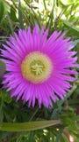 Purpur blomning Fotografering för Bildbyråer