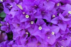 Purpur bougainvillea royaltyfri bild