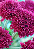 Purpur chrysanthemum Arkivbild