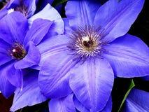 Purpur clematis Royaltyfri Fotografi